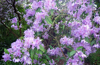 purple Blossoms to the Spring