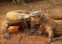 Komodo dan sisi uniknya...!!!