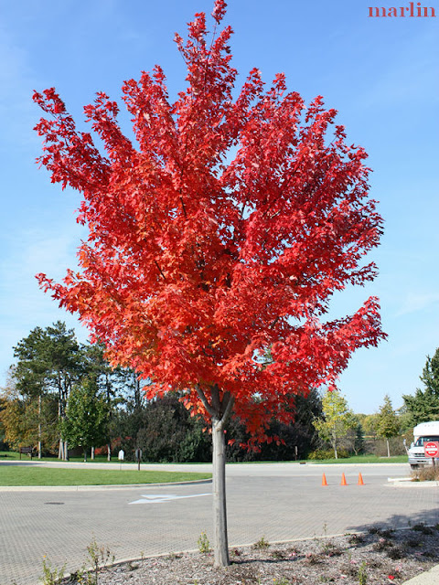 Autumn Blaze Maple Trees6