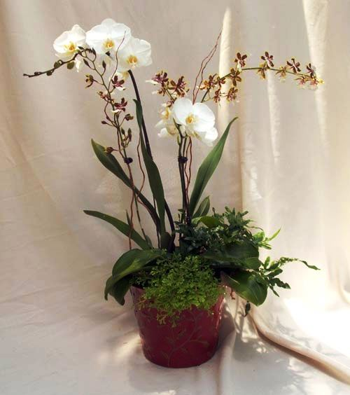 Orchidcraze meaning and symbolism of orchid meaning and symbolism of orchid mightylinksfo
