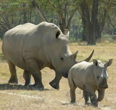 White Rhino - Lake Nakuru Park