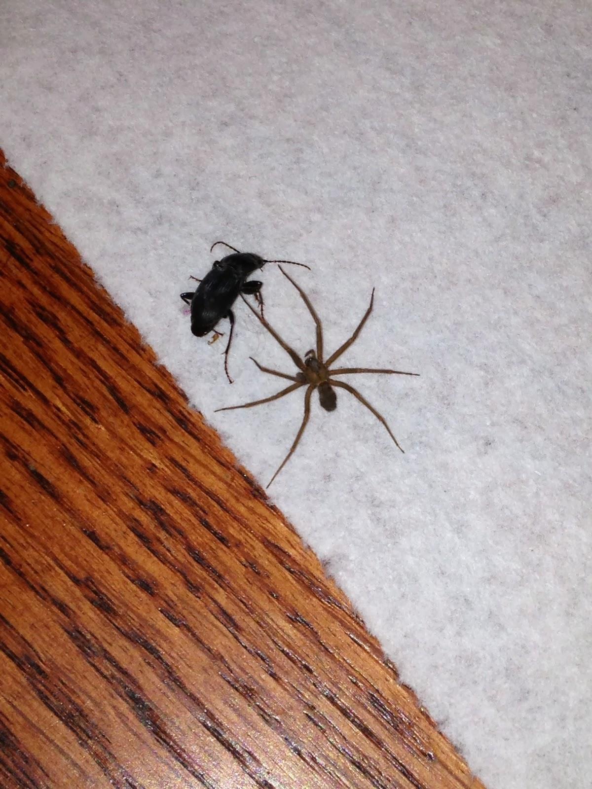Brown recluse size comparison