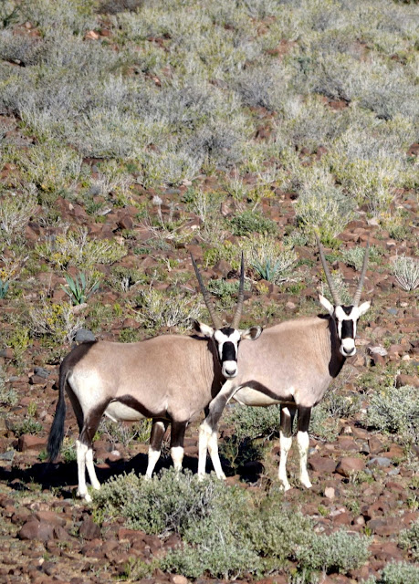 Gemsbok (Oryx) in the Naukluft Mountain Zebra Park