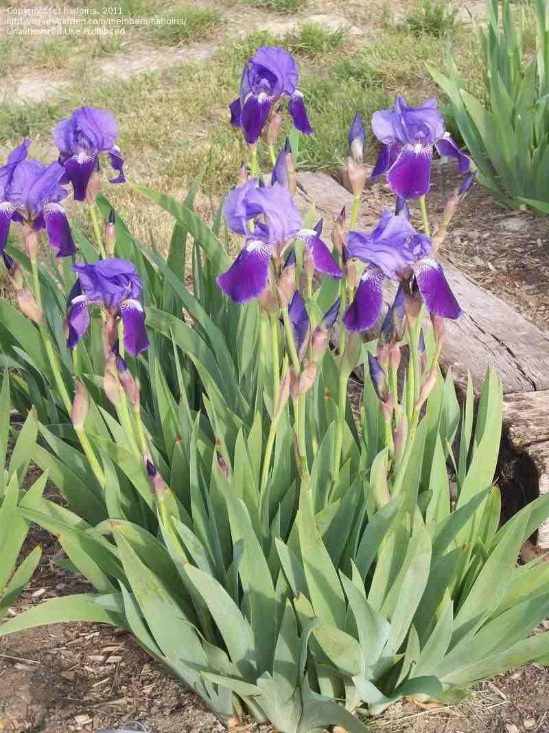 Trees planet iris germanica german iris bearded iris - Iris germanica ...