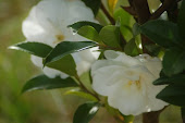 Camilias in Bloom