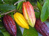Cacau, Theobroma cacao