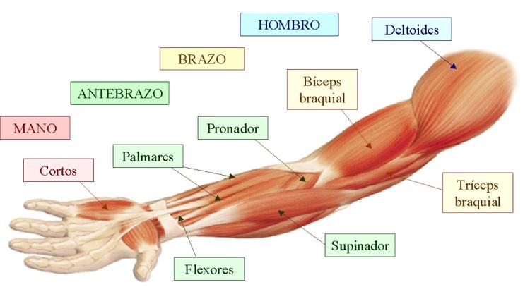 Ciencias Naturales: Primaria: El sistema muscular