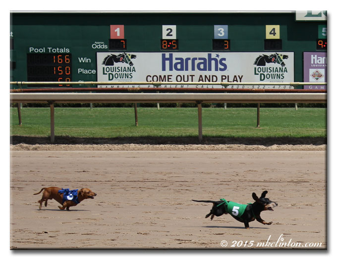 Two Dachshunds running on racetrack