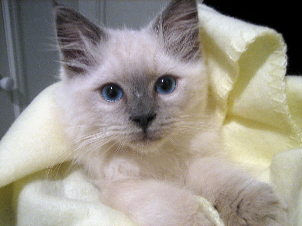 Inlove with Ragdolls!