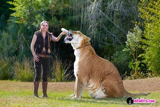 Hercules, Liger terbesar di dunia