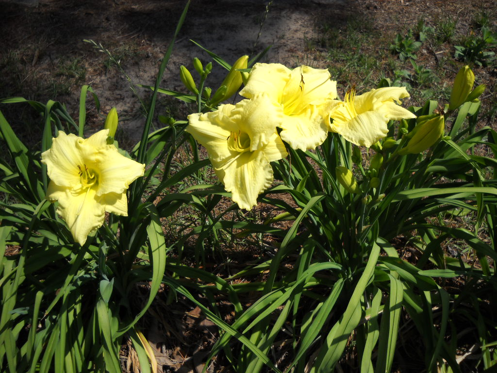 Secrets of a Seed Scatterer: Lilies and Daylilies