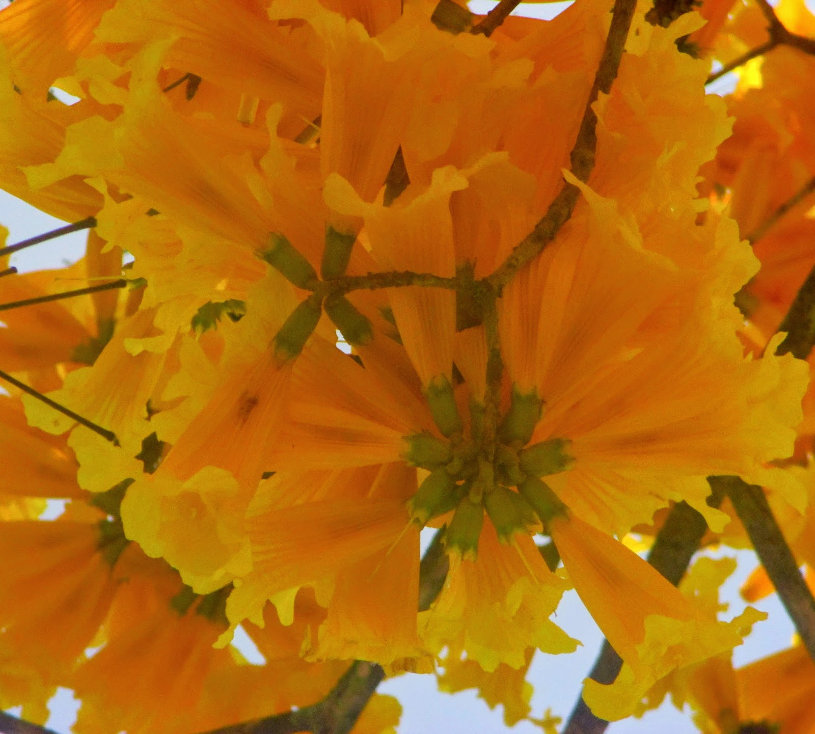 Virginias Life Such As It Is Tabebuia The Brilliant Yellow