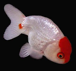 Jenis Ikan Tawar