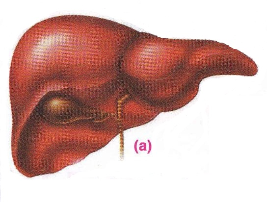Excretory System In Hu...