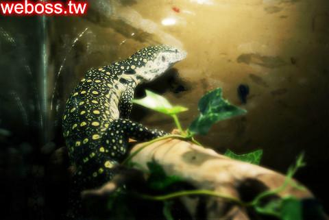 尼羅河巨蜥