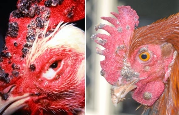 Image result for cacar ayam