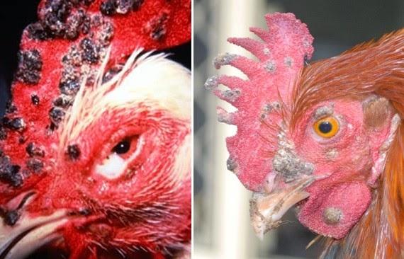 PENYAKIT CACAR AYAM (Fowl Pox)