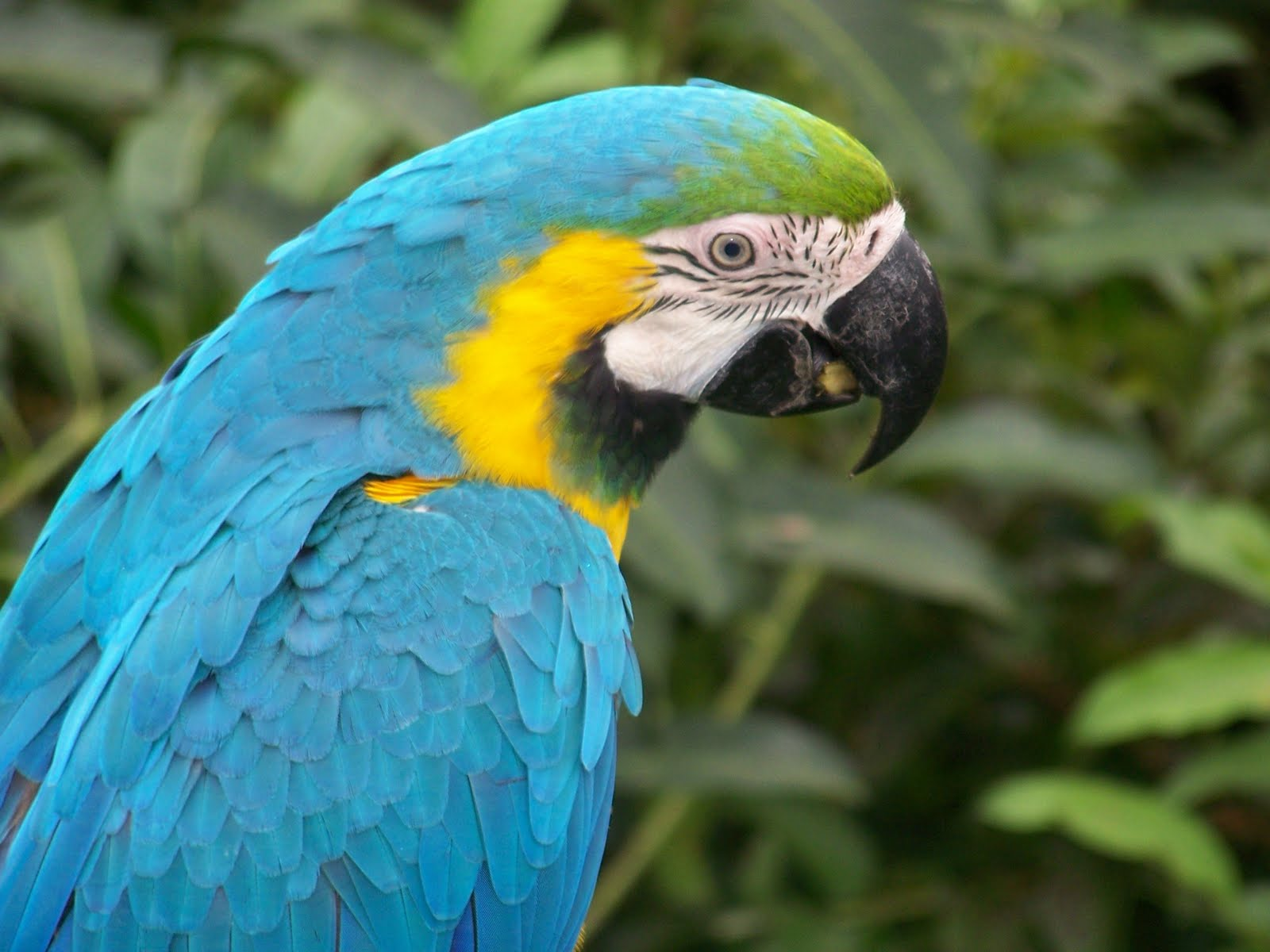 Indian parrot wallpaper  Funny Animal