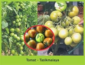 Bukti nyata penggunaan produk NASA pada Budidaya Tanaman Tomat