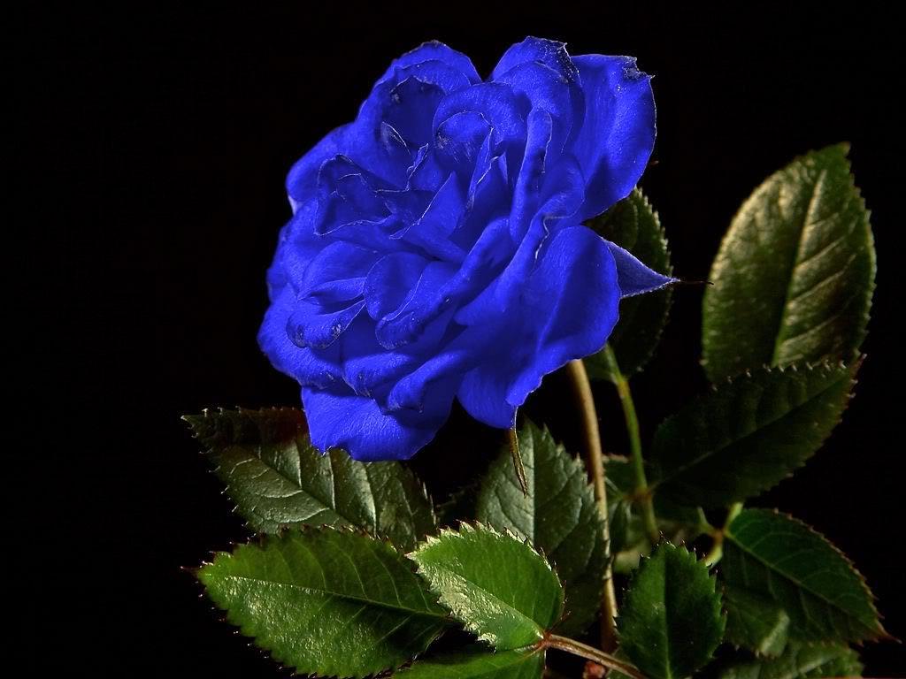 Mawar Biru Blue Love Rose Sepatah Kata Sejuta Makna