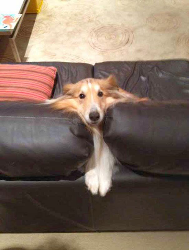 dog stuck between sofa cushions