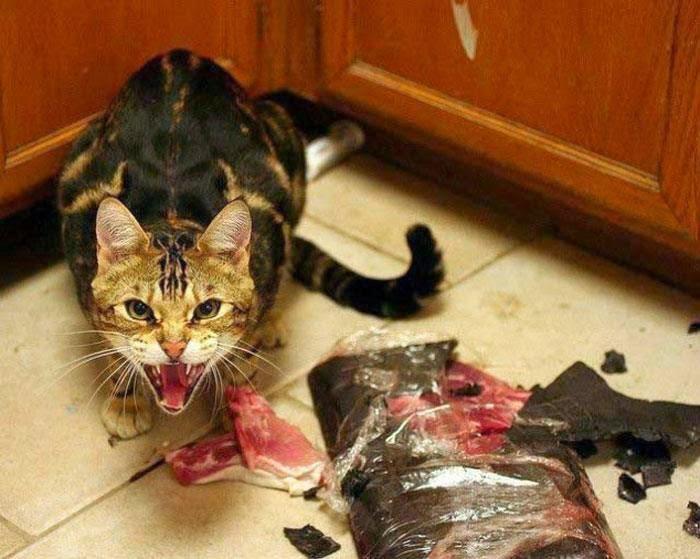 Jangan Tonton Video Ini Sekiranya Anda Pengemar Kucing