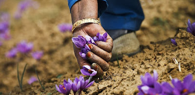 World, Most, Expensive, Spice, Saffron, Cultivation, Kashmir, Women, Agriculture, Food, Flower, Field, Pakistan, India, KG, USD, Srinagar, Farmer, Pampore,