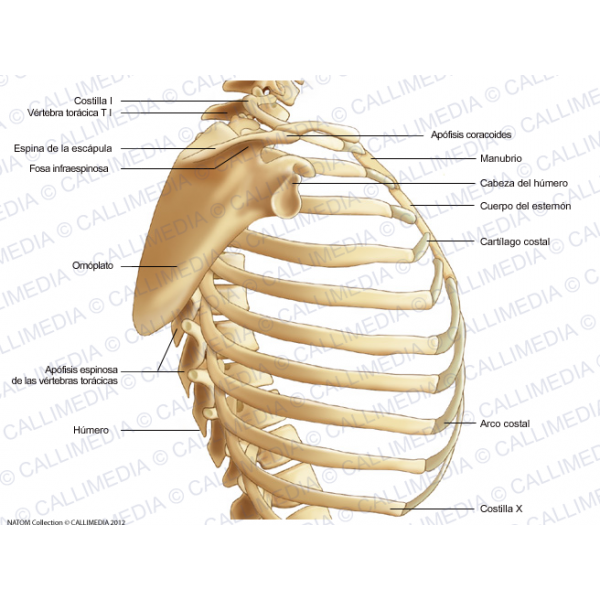 Anatomia - Torax | .