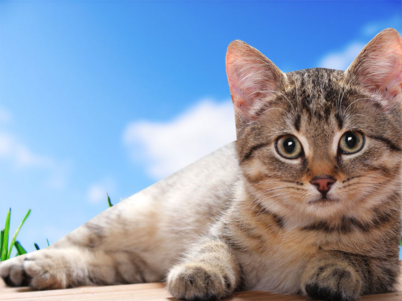 Cat Desktop Wallpapers   Wallpaper HD And Background