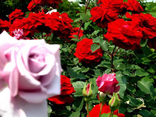 marathi gulab rose prem
