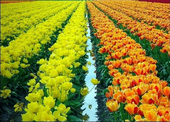 http://www.funmag.org/pictures-mag/flowers/netherlands-tulips/