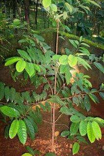 Nutmeg Plant