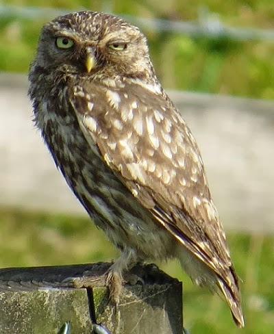 A Local Little Owl