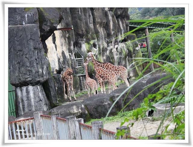 木柵動物園Taipai Zoo-長頸鹿