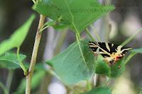 Papillon dans les arbres: écaille chinée papillon de nuit