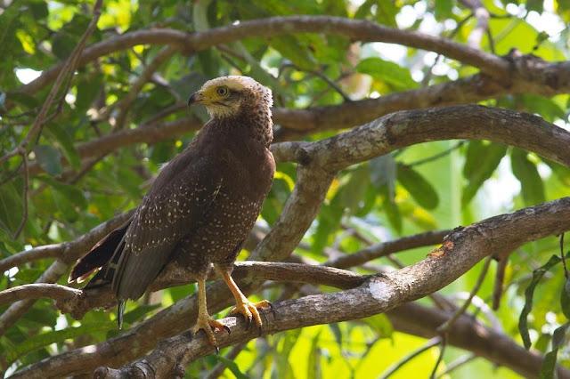 Andaman Serpent Eagle
