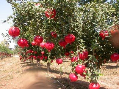 pomegranate tree kite runner