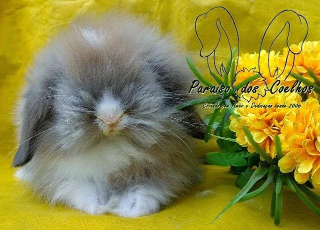 mini coelho - Mini Fuzzy Lop