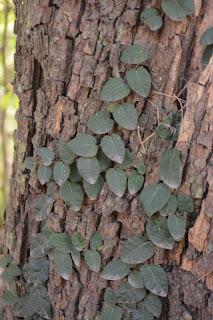 Enamorada del muro perennes más utilizada, Ficus pumila.