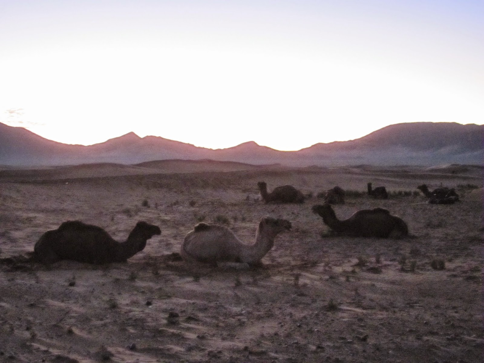 Camels Waking up at Sunrise, Zagora Morocco