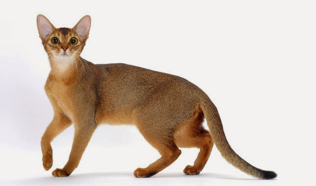 gato abissínio