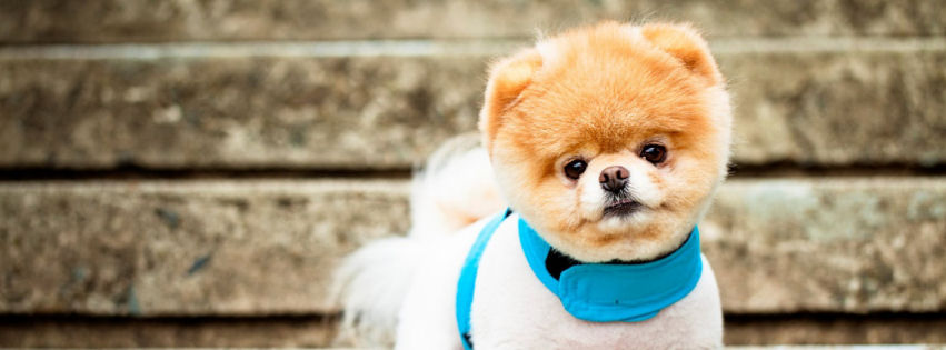 Boo the cutest dog facebook cover