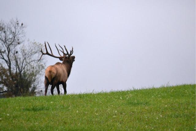 Big bull elk bugling