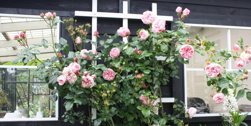 Rose Guardina
