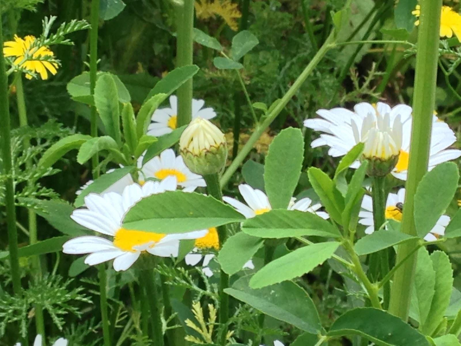 L 39 onesto leucanthemum vulgare lam famiglia composite for Margherita pianta