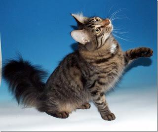 Kucing kesayangan Rasulullah S.A.W.