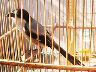 Anakan Burung Pentet