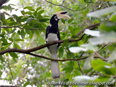 Male Oriental Pied Hornbill (Anthracoceros albirostris)