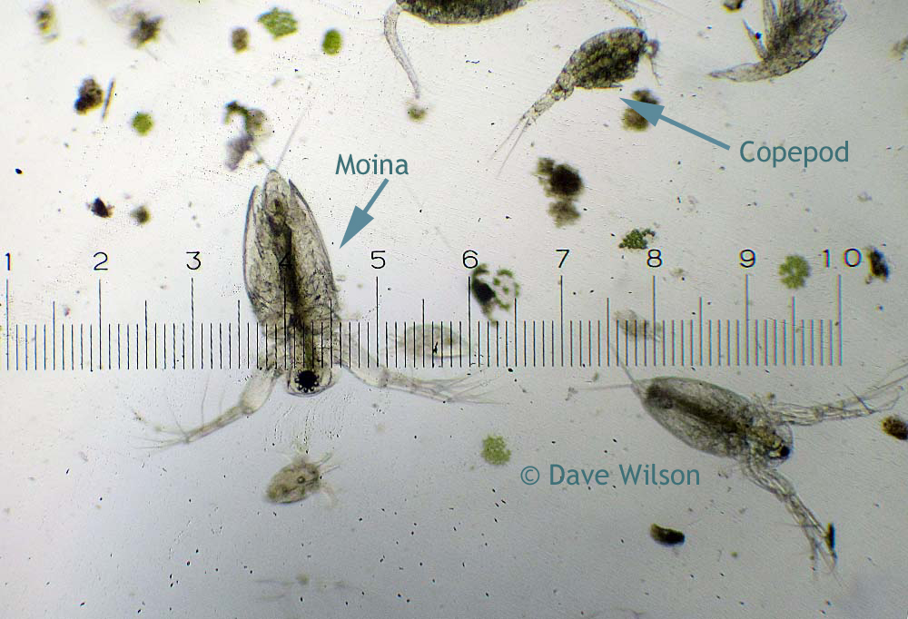 Pond Water Algae Under Microscope Found in ponds or ditches Microscopic Plants In Pond Water