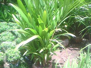 tanaman palem merah siap dijual